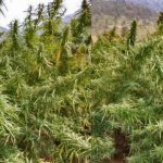 Odisha to use drone to locate illegal hemp cultivation
