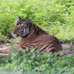 Man eater tigress Sundari tranquilized
