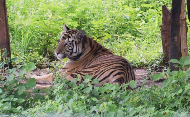 Man eater tigress Sundari tranquilized
