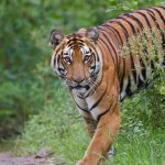 Satkosia tiger died due to infection caused by a pointed stump of a tree