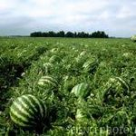 Odisha exports watermelon to Dubai