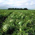 Odisha exports watermelon to Dubai
