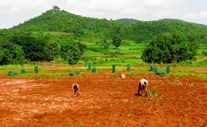 Tribal farmers reverting to eco-friendly millet farming shunning maize cultivation