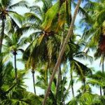 India 3rd in world, Odisha 5th in country in Coconut plantation