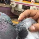 Pigeons smuggle into Odisha from West Bengal for ritual sacrifices