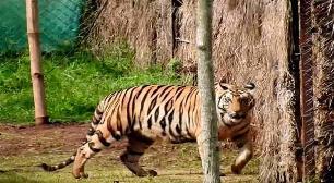 Tiger Relocation Programme Fails, NTCA suspends Satkosia project, plans to return tigress Sundari