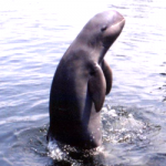 Chilika Lake dolphin population triples with IIT Madras' intervention