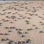 Odisha coast witnesses flow of over 2 crore Olive Riddley turtle hachlings