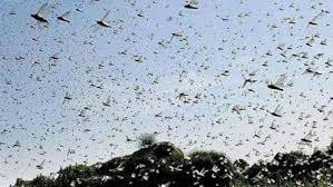 Odisha watches locust movement in neighbouring Chhattisgarh