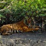 Bengal tiger kills a man