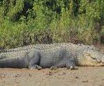 Giant crocodile strays into Odisha village in flood water